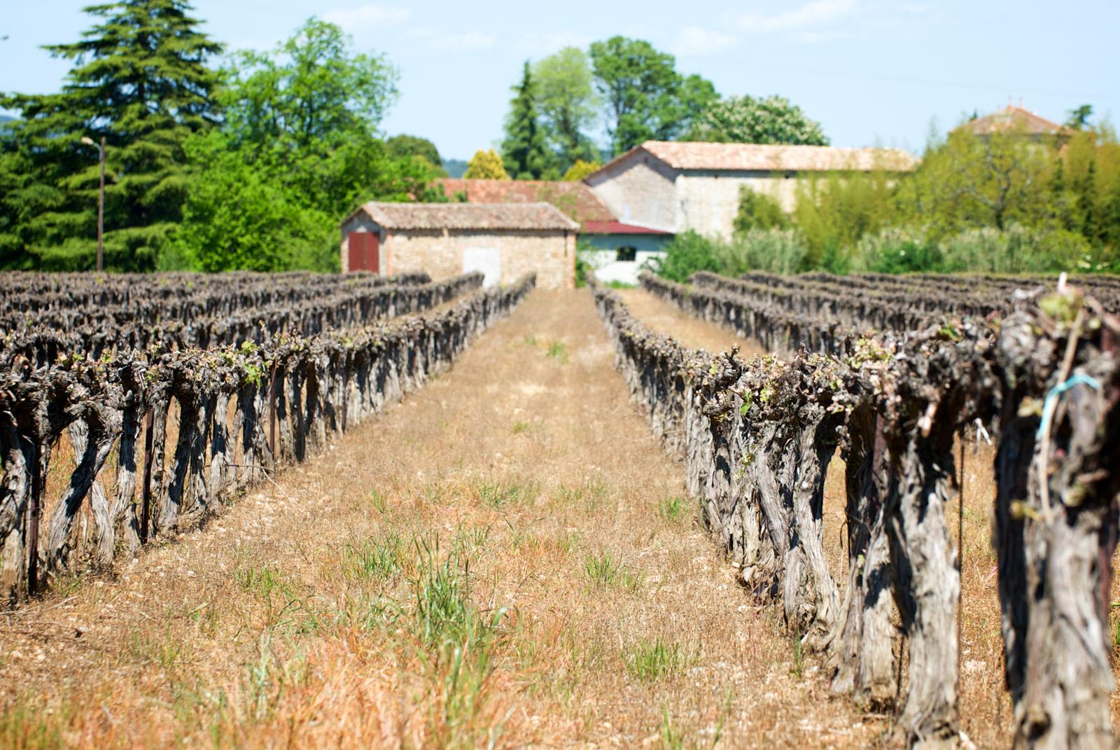 Des vignes aux environs d'Anduze