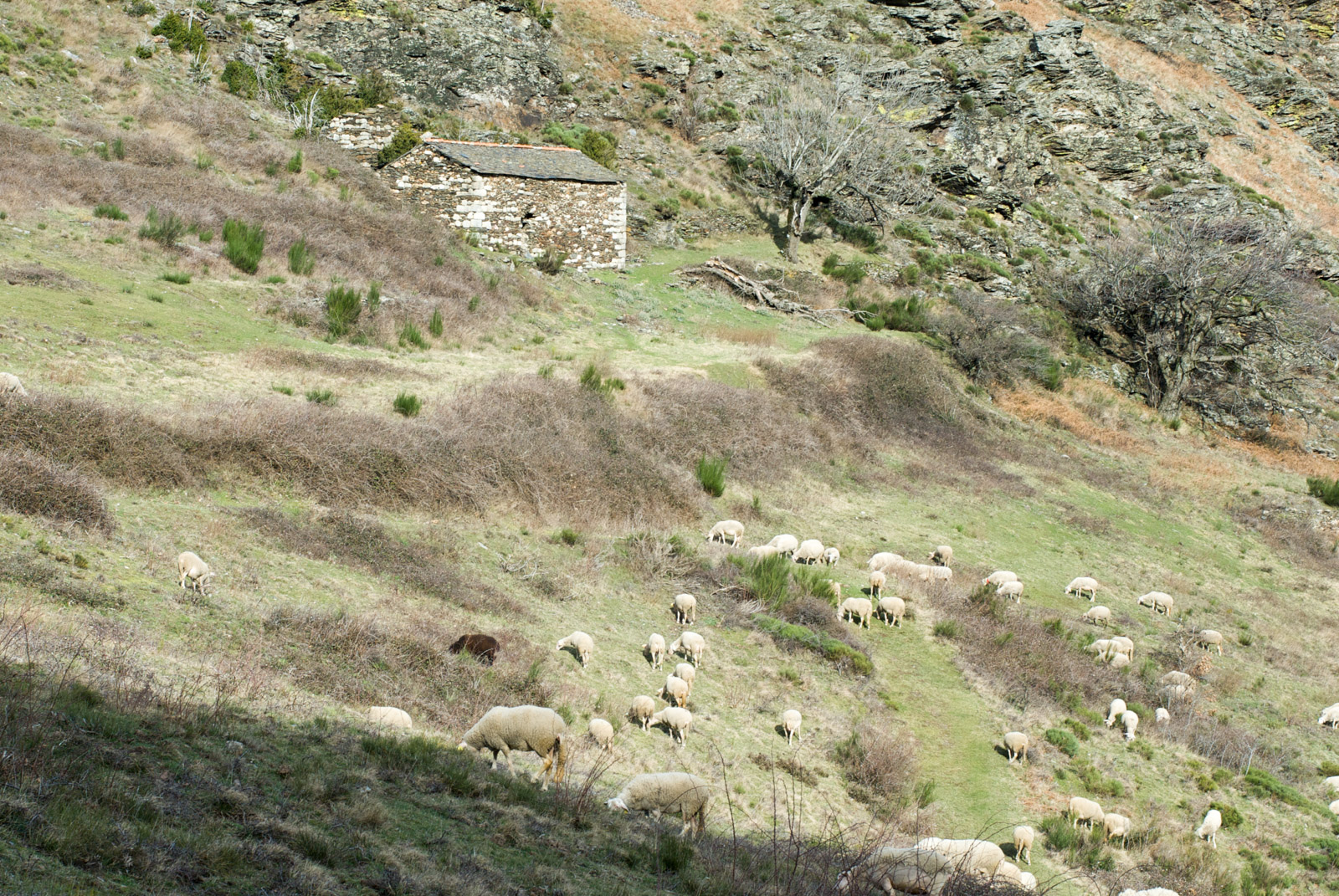 Troupeau de moutons, vers la commune du Pompidou en Lozère